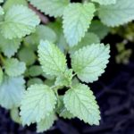 Lemon Balm Web 150x150 - Seed Starting Tips for Heirloom Vegetable Gardeners