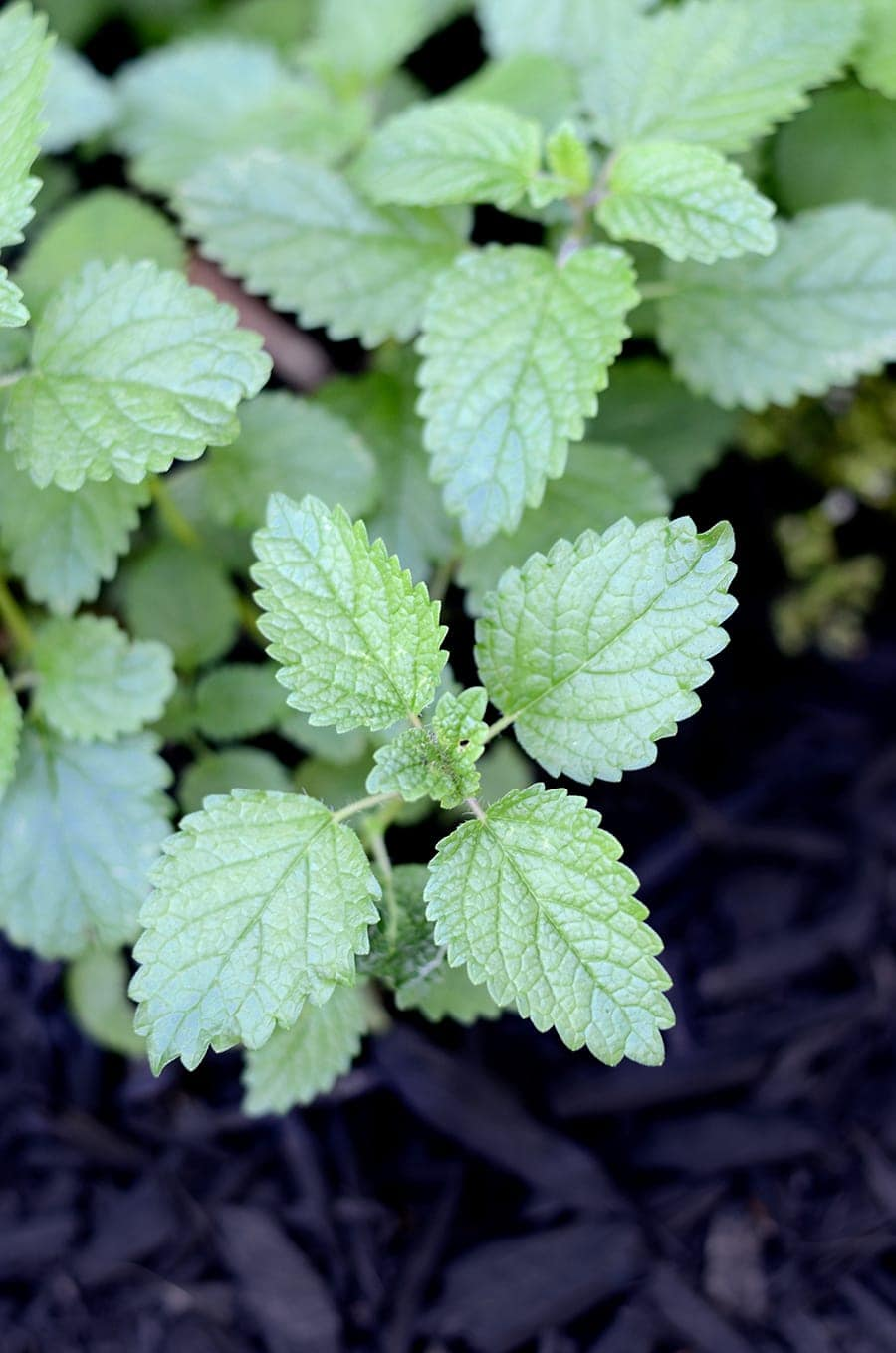 Lemon Balm Web - Lemon Balm Pesto