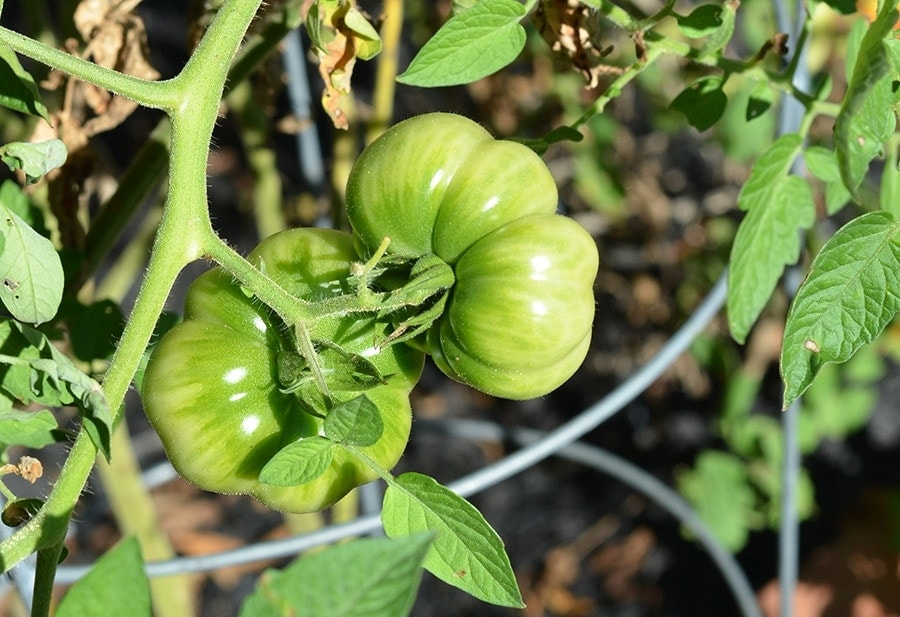 Green Tomatoes Web - Beat the winter blues with garden planning