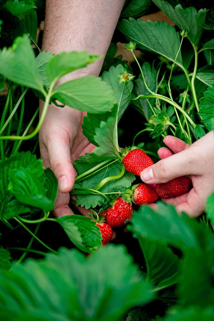 hands holding strawberries in a strawberry patch