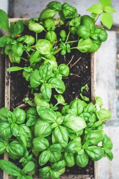 basil seedlings growing in a flat